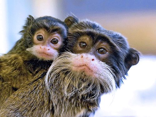 There are so many species of monkeys in the Amazon rainforest that scientist have not yet discovered all of them. In fact, in early 2009 a brand-new species, Mura's tamarin, was found in a remote part of Brazil—and it's already considered to be an imperiled species because of habitat loss due to the logging and burning of the rainforest. #RealorFake You tell us? www.bloomtrigger.com