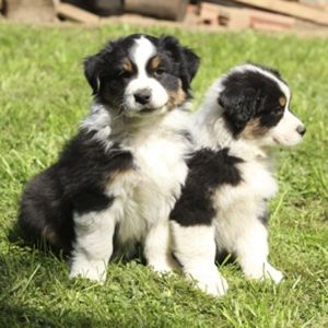 Characteristics of the Australian Shepherd-Border Collie Mix
