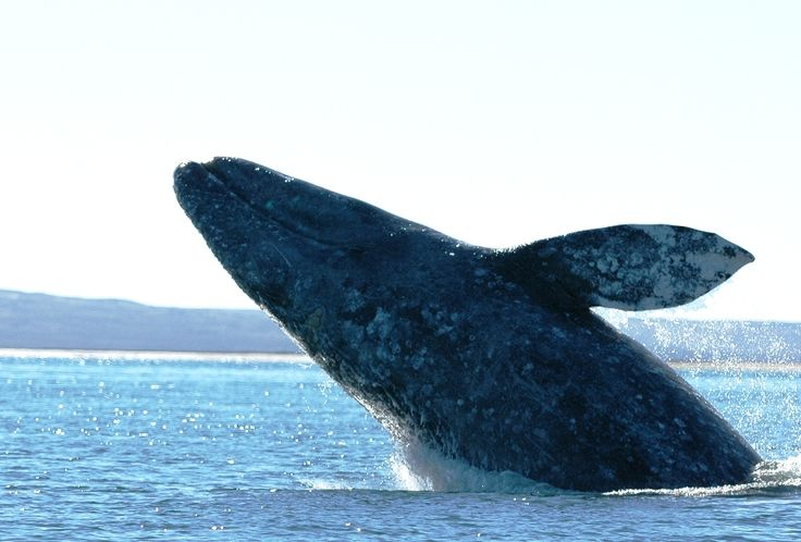 The #gray #whale #migration is in full swing...and it will be a banner year!