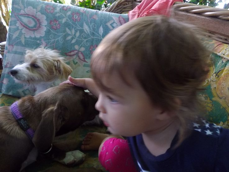 Amelia playing with a Pitbull.... Surprise.... these dogs are great with kids. https://www.facebook.com/pages/Zsa-Zsa-the-Rescue-Pitbull/742159279166031