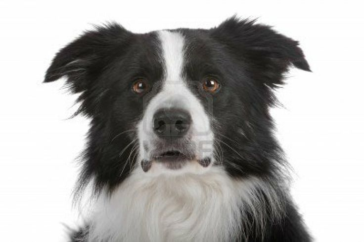 Borde collie is my 5th