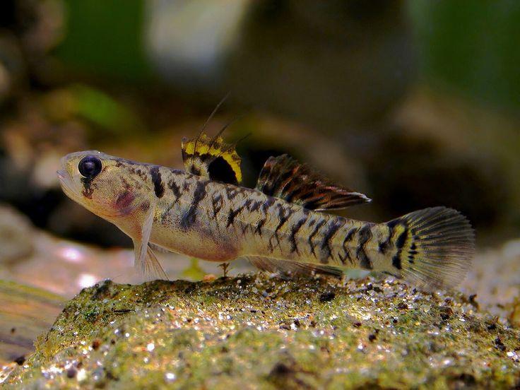 309 best freshwater gobies images on pinterest fish for Finned fish allergy