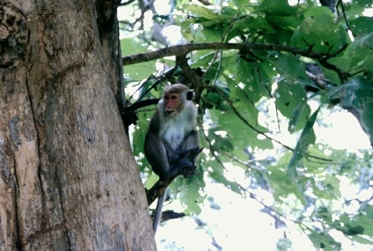 Scimmia in Sri Lanka