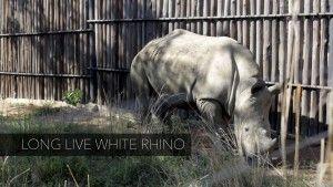 Storytelling 101: Long live white rhino