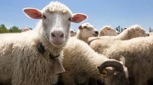 Najpiekniejsze owce Naszego bacy ! http://puszystaowca.pl/owce/
