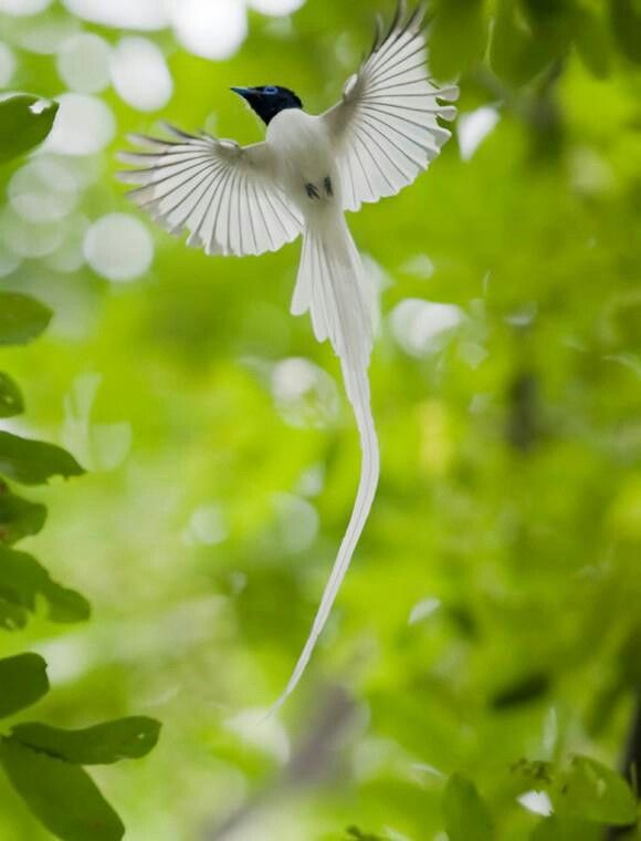 Asian paradise flycatcher. I saw this bird once on a trip to Mt. Abu. And seeing it flying was one of the most breathtaking things ever! Need to go bird watching soon!