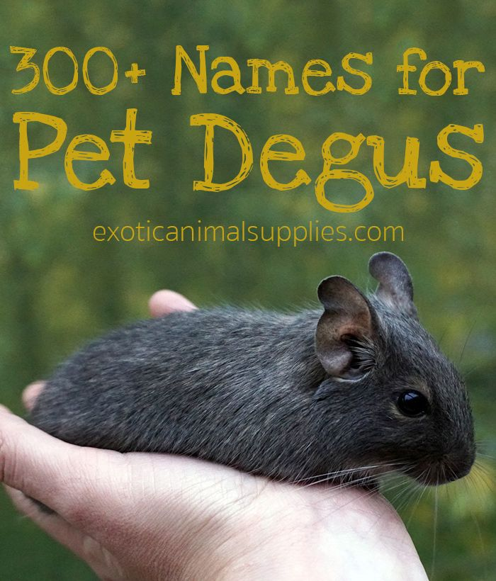 Pin On Degu Exotic Pets