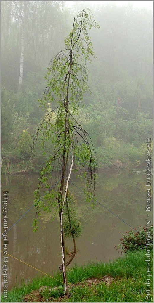 https://flic.kr/p/9URk1T | IMGP6255 Betula pendula 'Gracilis' - Brzoza brodawkowata | see more, zobacz więcej : plantsgallery.blogspot.com/2008/03/betula-pendula-gracili...
