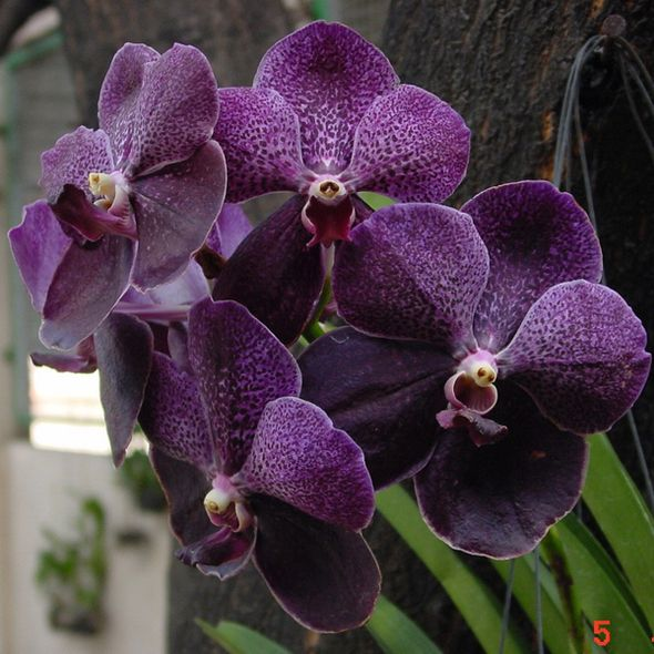best beautiful vanda orchids images on, Beautiful flower