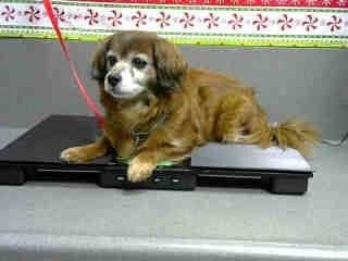 ****STILL LISTED--HAS A SMALL MASS UNDER HER BELLY***   DIDI #A481163 (Moreno Valley CA) Female brown and white Cocker Spaniel. The shelter thinks I am about 9 years old. I have been at the shelter since Jan 03 2018