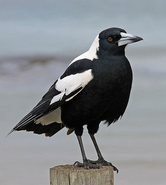 Australian Magpie - known for their singing voice and aggressive behaviour towards people during their mating season