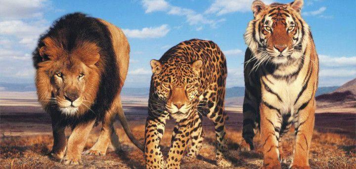 Nunca dê as costas para grandes felinos