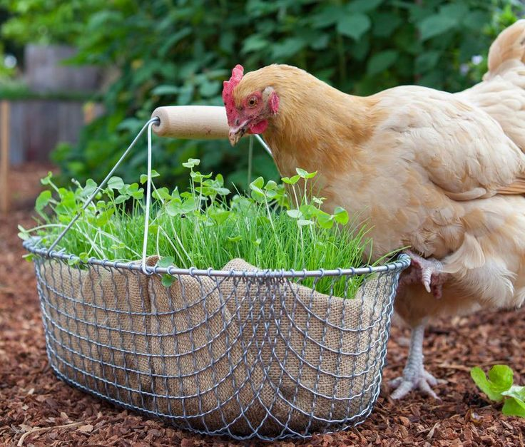How to grow fresh feed for chickens