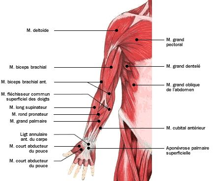Anatomie - Atlas du corps humain : Les muscles - Doctissimo