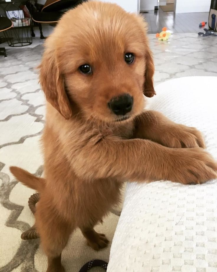 Paws are clean mom, I promise Do not forget your Friend Tags here Please send cute pictures of your Golden dog to me repost it Thank you so much More #i_love_goldenretriever --------- Credit @beau.goldentails ❤❤❤