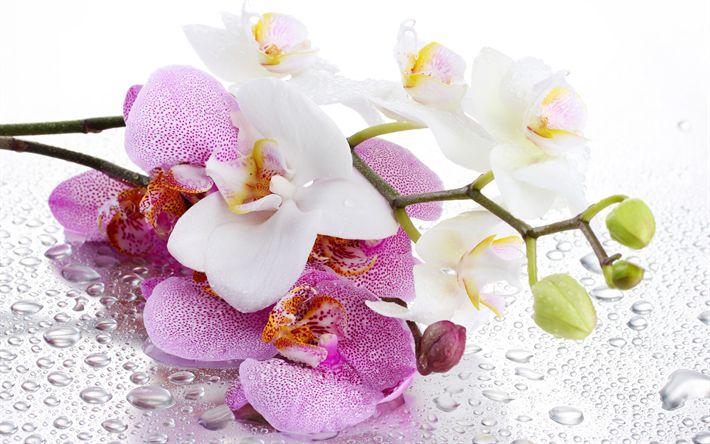 Hämta bilder Rosa orkidéer, vit orkidé, tropiska blommor, orkidéer