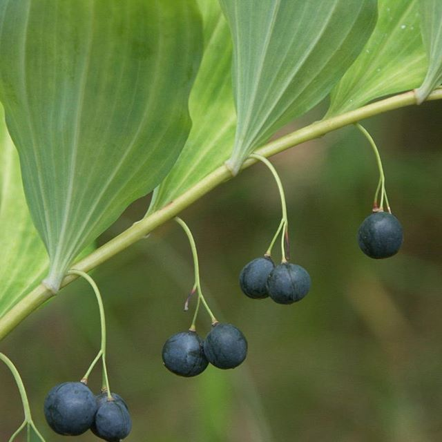 Found on my sunday walk -Beautiful berries, but poisonous. Angular Solomon's seal /Getrams