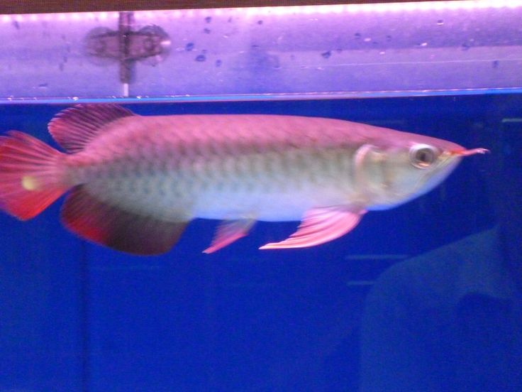 Arowana Super Red 20 cm For Sale +62888 0288 0888 or +6281 999 009 099