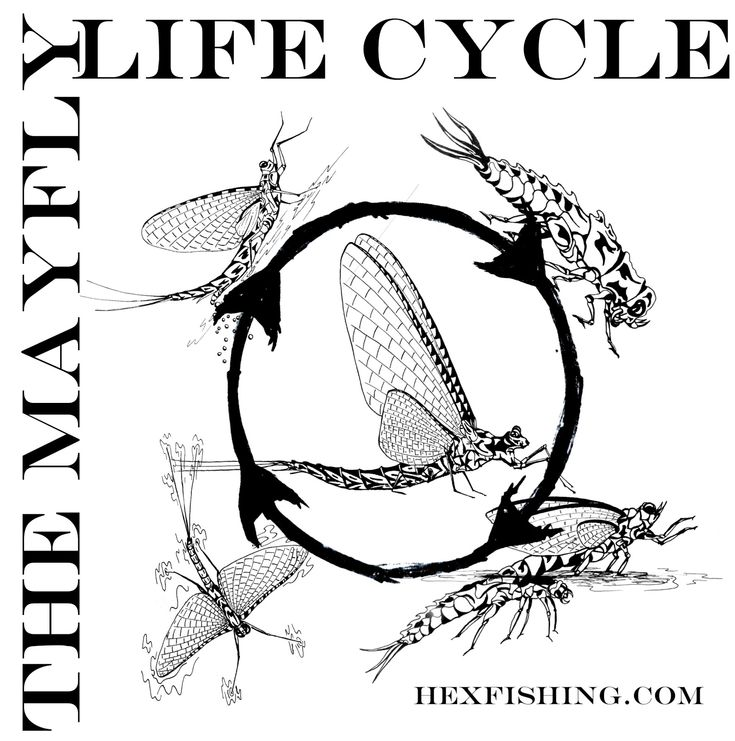 mayfly tattoos fly friday illustrating the mayfly life cycle fly fishing tattoos. Black Bedroom Furniture Sets. Home Design Ideas