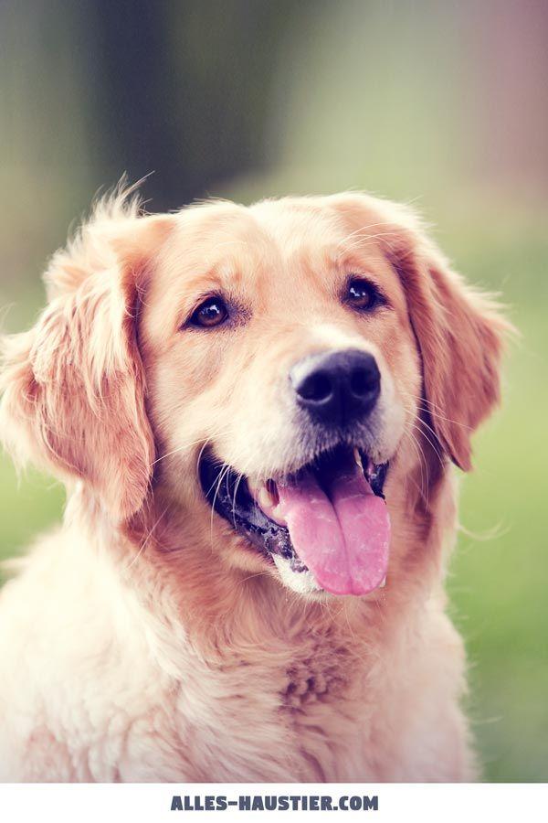 Hunderassen für Anfänger: Das sind die 13 besten Anfängerhunde