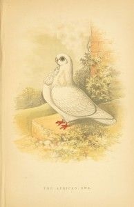 Animal - Bird - Fancy Pigeon -  (14)