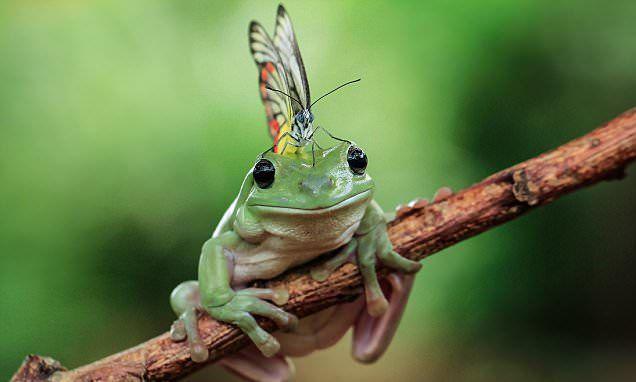 Short, back and flies: Frog appears to have a Mohican haircut