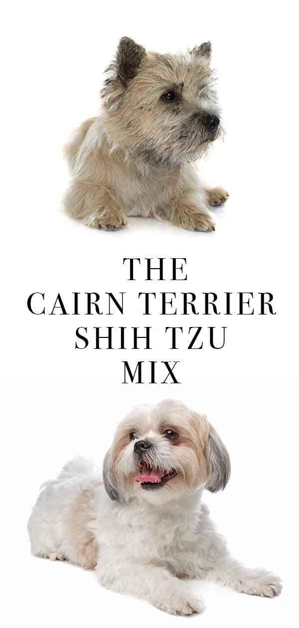 The Cairn Terrier Shih Tzu Mix Shihtzu Cairn Terrier Shih Tzu