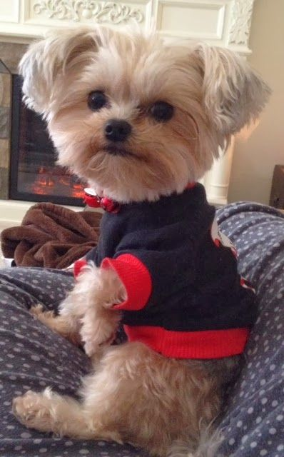 Cute little dog in a sweater