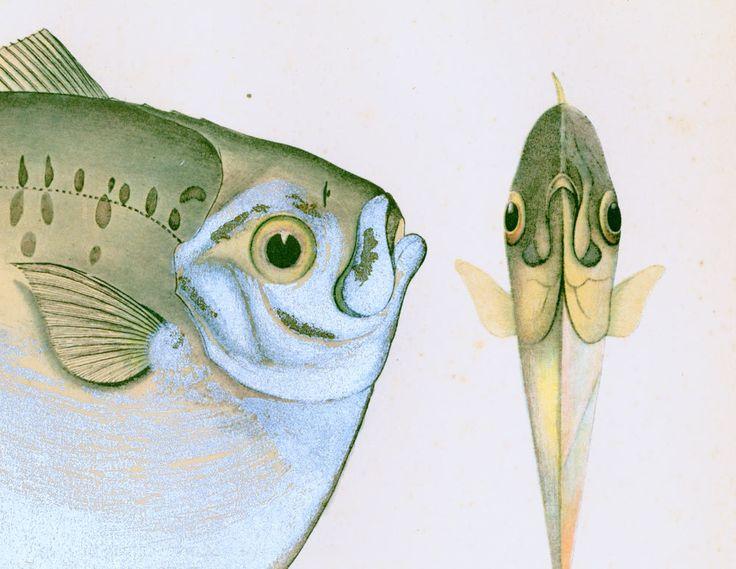 1932 Mene Maculata. Poisson lune. Poisson tropical. Gravure Originale.  Ichtyologie Asie Pacifique Ocean Indien. de la boutique sofrenchvintage sur Etsy