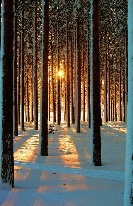 .✮ Pine trees with snowy landscape at sunset in winter - Sweden