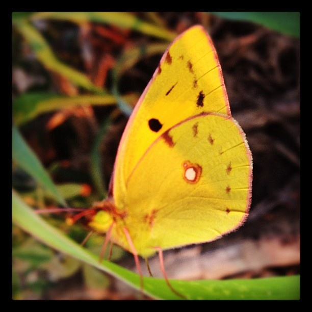 "@mauroparolo's photo: ""#butterfly"""