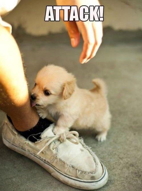 Yo bro, ATTACK!: Kiss, Cutest Puppy, Dogs, So Cute, Tiny Puppys, Pet, Little Puppys, Golden Retriever, Adorable Animal