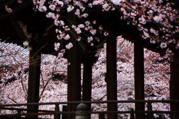 立本寺 桜 刹堂 京都 満開 春