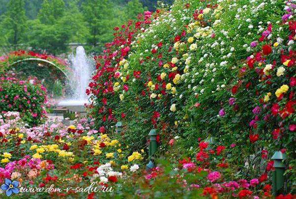 плетистые розы долгоцветущие