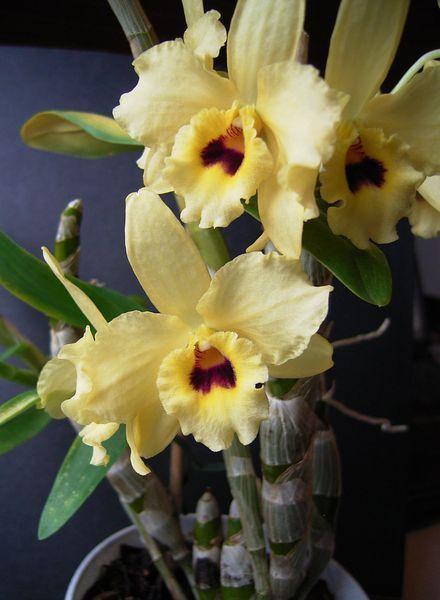 jalopuikkokämmekkä' Dendrobium nobile hybrid /lannoitus kasvukautena, tasaisen kostea kesällä, talvella hieman viileämpään paikkaan. hoito-ohje: http://am7.siteground.biz/~suomenor/wp-content/uploads/2014/08/Dendrobium-nobile-nbspJalopuikkokmmekk.pdf