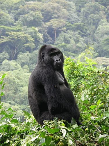 Mountain Gorilla, Bwindi Impenetrable Forest, Uganda. by enhan on Flickr. It seems to be on the very mountain edge. Very dramatic and moving.