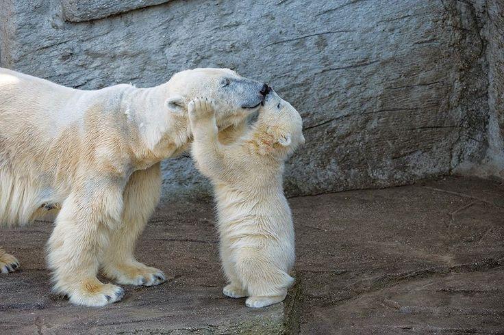 Cada 27 de Febrero se celebrael Día Internacional del Oso Polar. Estos hermosos animales siguen afrontando desafíos relacionados con el calentamiento global y del Ártico, para ellos cada día es un…