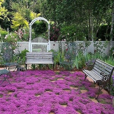 Creeping Thyme Magic Carpet Seeds (Thymus Serpyllum) by underthesunseeds #Flowers #Ground_Cover