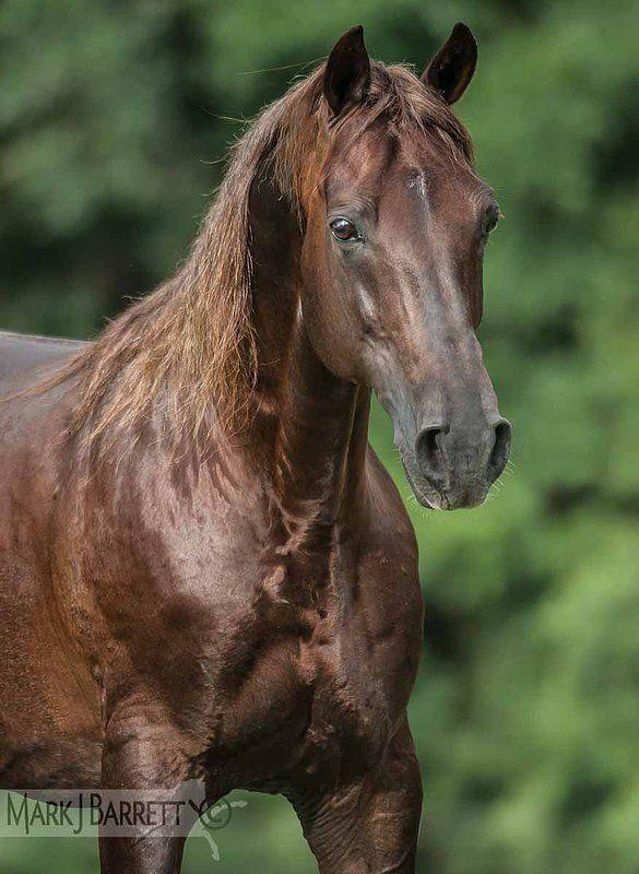 Missouri Fox Trotter Stallion
