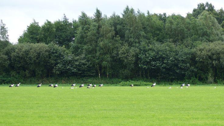 26 ooievaars (26 storks)
