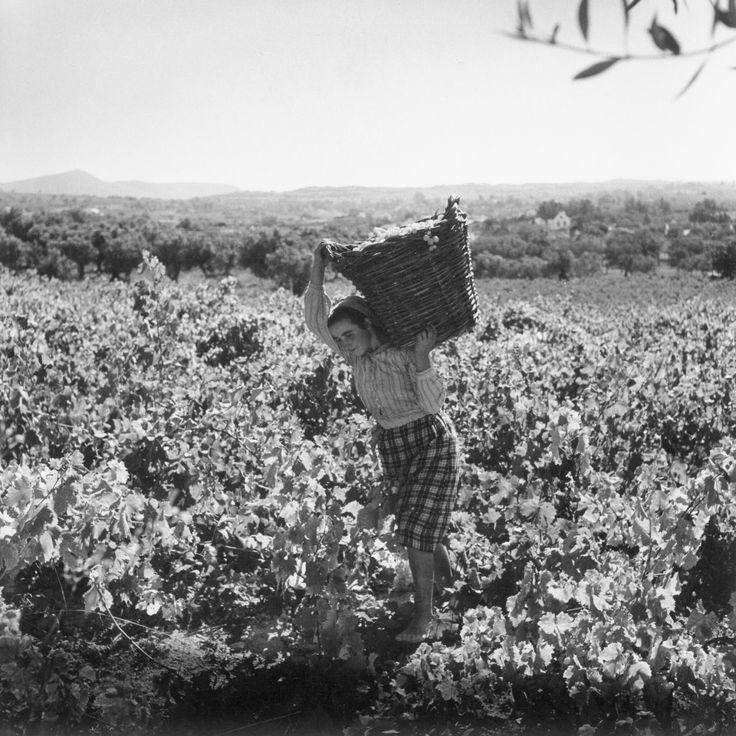 Grape harvest (Portugal) - photo by Artur Pastor