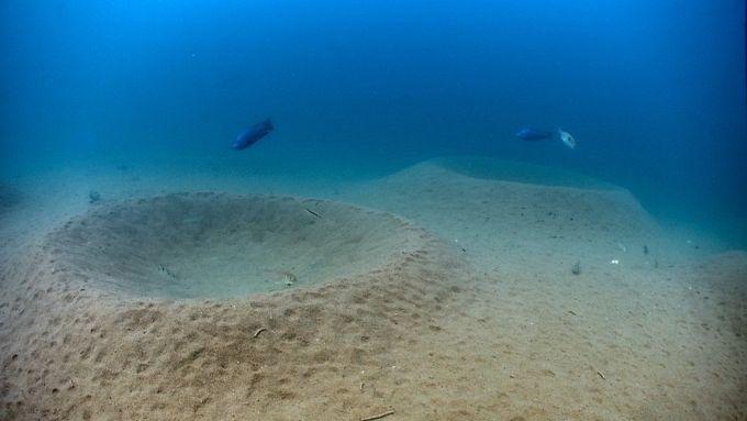 Afrika Gölleri Ciklet Balıkları-Afrika Malawi Gölündeki ciklet balıkları (Cichlid) gölün zemininde yavrularını koruyacağı çukur yuvalar hazırlar