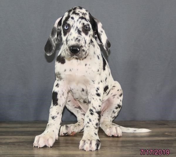 Petland Overland Park Has Great Dane Puppies For Sale Check Out