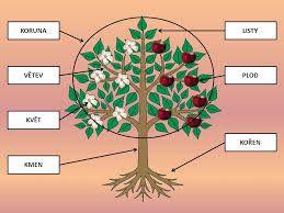 Výsledek obrázku pro plody stromů pracovní listy