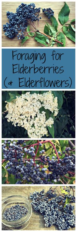 Elderberries (and elderflowers) are a wonderful edible and medicinal plant, plus…
