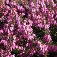 Erica March Seedling (13cm Pot)