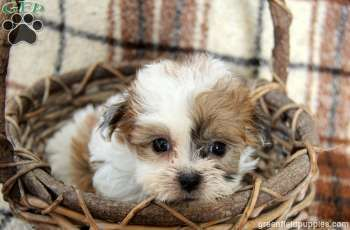 Chloe, Shichon puppy for sale from Strasburg, PA