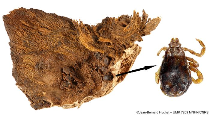 The mummy of an Egyptian puppy whose left ear was infested with 61 preserved brown dog ticks has been examined by archaeoentomologist Jean-Bernard Huchet of the National Museum of Natural History in Paris. This particular puppy may have been killed by a tick-borne disease.