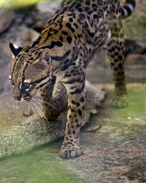 Texas Ocelot endangered species Texas parks and wildlife endangered animals