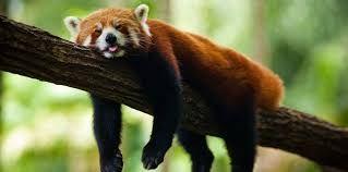 Resultado de imagen para pandas rojos